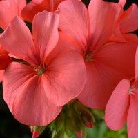 Pelargonium. :: Женя Лузгин