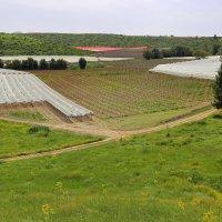 виноградники Хевронского нагорья :: ALEX KHAZAN