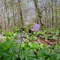 В  весеннем  лесу... :: СветЛана D