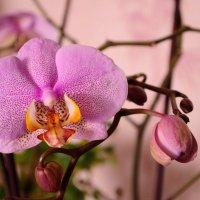 Орхидея :: Степан Куруч