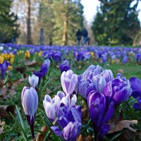 Там, где крокусы цветут, Радостно и ярко... :: Galina Dzubina