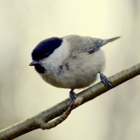 Маленькая птичка - гаичка :: Сергей