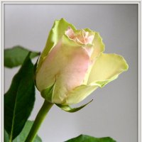 роза :: Сергей Короленко
