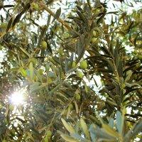 Оливковое дерево :: Юля Колосова
