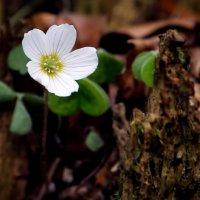 Весенний полевой цветок :: Eduard .