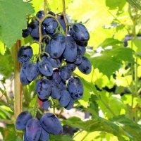 Грозди синих винных капель... :: Валентина ツ ღ✿ღ