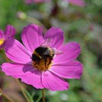 Шмель на цветке :: Наталья Тагирова