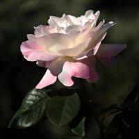 Роза :: Марина