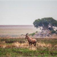 Утренняя,прохладная,дождливая...но такая прекрасная саванна!!! Руаха.Танзания! :: Александр Вивчарик
