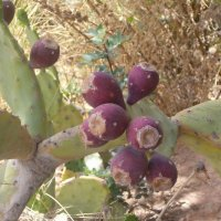 Цабра - плоды кактуса :: Герович Лилия