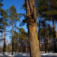 Весенний лес :: Павел Зюзин
