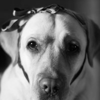Лабрадор, портрет :: Kseniya Wolf