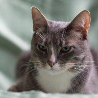 Мой красивый котик..хочет на обложку журнала))) :: Ирина Малышева