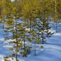 Март. Сугробы, тени в лесу за городом Северодвинск. :: Михаил Поскотинов