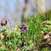 цветочки весны :: юрий иванов