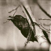 Винтажная ворона позирует :: Сергей Казаченко