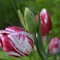 Тюльпаны :: Николай Ярёменко