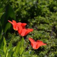 Тюльпан – цветок любви и весеннего обновления. :: Anna Gornostayeva