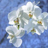 Орхидея на фоне зимы :: Татьяна Соловьева