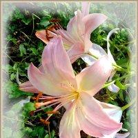 Нежно-розовые лилии. :: Чария Зоя