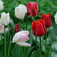 Тюльпаны :: Nina Grishina