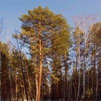 Луч солнца чертит лес одухотворённо :: derber d