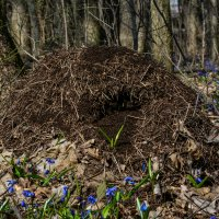 В муравейник пришла весна :: ALEXANDR L