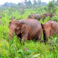 Стадо диких слонов. Шри Ланка :: Юрий Белоусов