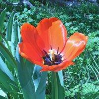 Его величество - Тюльпан! :: Юрий Захаров