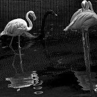 фламинго и лебедь :: Ирина Сафонова