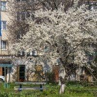 Цветет абрикос :: Игорь Сикорский