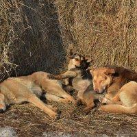 Собачьи нежности :: Борис Гуревич