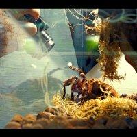 """Позирование"" паука птициеда ""Acanthoscurria geniculata"" :: Андрей Краснолуцкий"