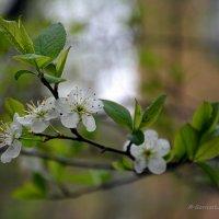 Цветы благоухают для души,  и потому безумно хороши! :: Anna Gornostayeva