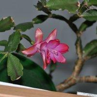Розовый цветок в горшке :: Сергей Тагиров