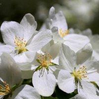 Белых яблонь цвет... :: Галина Стрельченя