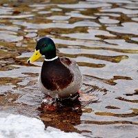 на реке зимой :: linnud