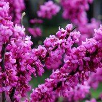 Весна в Сочи :: Виолетта
