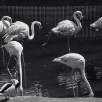 фламинго зоопарк :: Ирина Сафонова