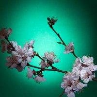 Ветка цветущего абрикоса :: Евген Бурлак