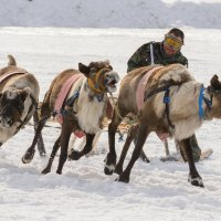 Гонки на оленях!!! :: Олег Кулябин