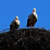 синхрон :: linnud