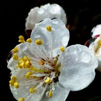 Цветок урюка после дождя :: Асылбек Айманов