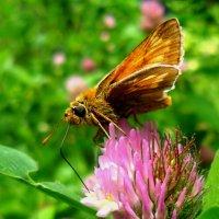 Бабочка-тостоголовка. :: Наталья