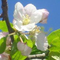 Яблоня в цвету :: Дарья Сапфирова
