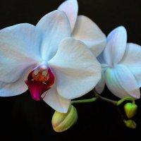 Орхидея :: Сергей Чиняев
