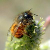 Пчела :: Сергей Босов