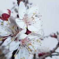 Цветёт абрикос :: Андрей Солан