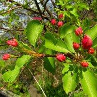 Яблони весенний цвет. :: nadyasilyuk Вознюк