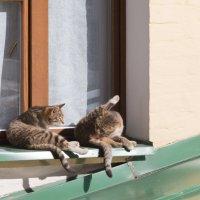Мартовские коты :: Светлана